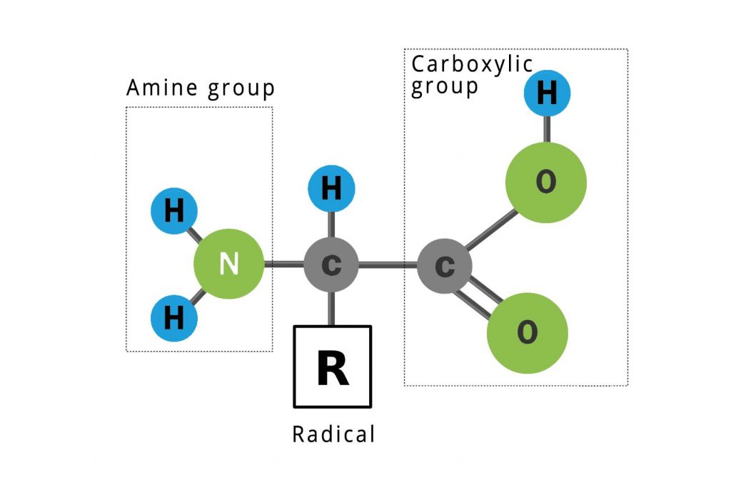 general structure of amino acids: amine group + radical + carboxylic group